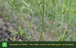 Astragalus campylorhynchus 5 - Photo by Bidar