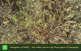 Astragalus campylorhynchus 6 - Photo by Maassoumi