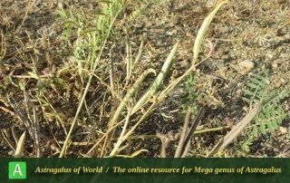 Astragalus campylorhynchus - Photo by Maassoumi