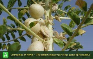 Astragalus caryolobus 2 - Photo by Mozaffarian