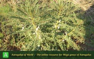 Astragalus caryolobus 3 - Photo by Maassoumi