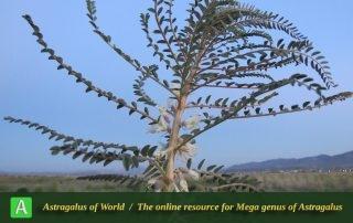 Astragalus caryolobus 4 - Photo by Maassoumi