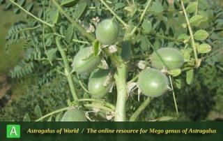 Astragalus caryolobus 5 - Photo by Bagheri