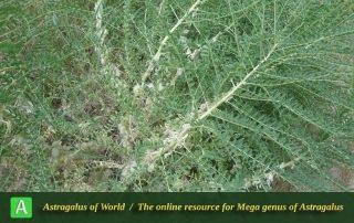 Astragalus caryolobus - Photo by Tavakoli