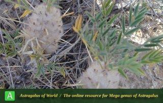 Astragalus cerasocrenus 2 - Photo by Joharchi