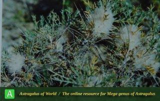 Astragalus cerasocrenus