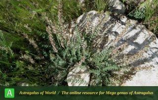 Astragalus cf. chrysotrichus 2 - Photo by Mirtadzhaddin