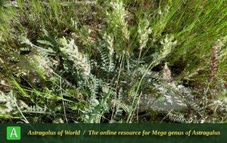 Astragalus cf. chrysotrichus 3 - Photo by Mirtadzhaddin