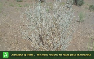 Astragalus cf. kavirensis