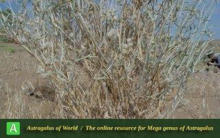 Astragalus cf. kavirensis 2 - Photo by Maassoumi