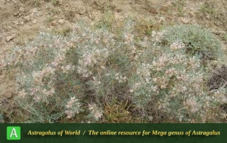 Astragalus chalaranthus 2 - Photo by Eftekhar