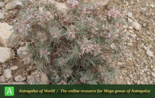 Astragalus chalaranthus 3 - Photo by Eftekhar