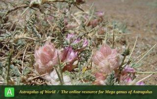 Astragalus chalaranthus 4 - Photo by Mozaffarian