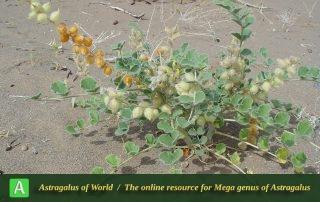 Astragalus chiwensis 2