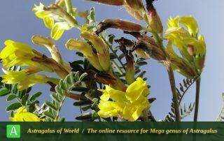 Astragalus chrysanthus - Photo by Mozaffarian