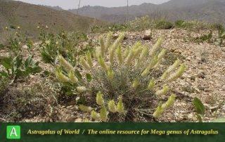 Astragalus chrysostachys 4