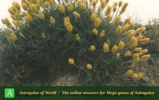 Astragalus chrysostachys 5 - Photo by F.Ghahremani nejad