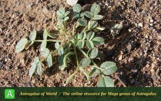 Astragalus commixtus 2 - Photo by Batooli