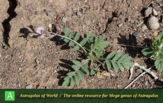 Astragalus commixtus 3 - Photo by Taheria