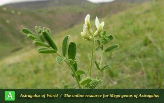 Astragalus commixtus - Photo by Bidar