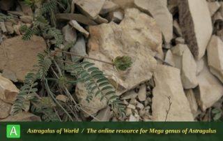 Astragalus comosus 2 - Photo by Amini