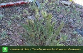 Astragalus comosus 3 - Taleghan 012