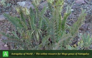 Astragalus comosus 4 - Photo by Maassoumi