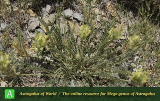 Astragalus comosus 5 - Photo by Mozaffarian