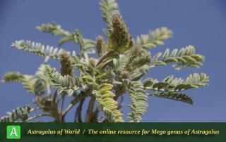 Astragalus comosus - Photo by Mozaffarian