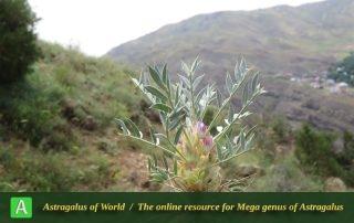 Astragalus compactus 2 - Photo by Bidar