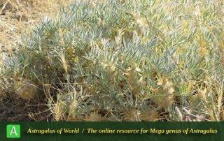 Astragalus compactus 3 - Photo by Bidar