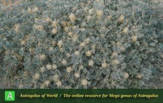 Astragalus compactus 4 - Photo by Maassoumi