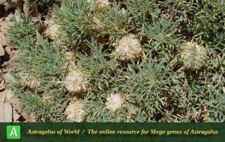 Astragalus compactus 5 - Photo by Mozaffarian