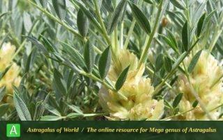 Astragalus compactus - Photo by Bidar