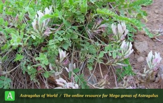 Astragalus confusus 3 - Photo by Maassoumi