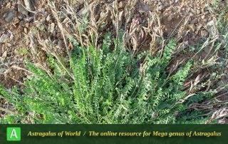 Astragalus confusus 4