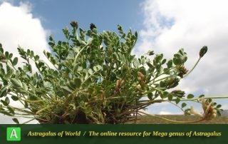 Astragalus confusus - Photo by Mozaffarian