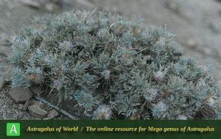 Astragalus crassinervius - Photo by Maassoumi