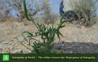Astragalus crenatus 2 - Photo by Maassoumi