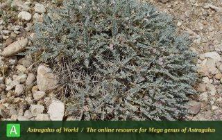 Astragalus curviflorus - Photo by Mozaffarian