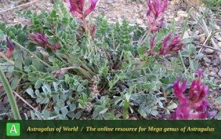 Astragalus curvirostris 4 - Photo by Bidar