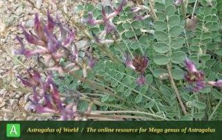 Astragalus curvirostris - Photo by Mozaffarian
