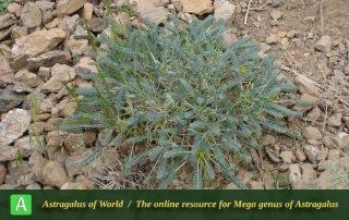 Astragalus dactylocarpus - Photo by Taherian