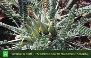 Astragalus dactylocarpus subsp. dactylocarpus 2 - Photo by Taheria