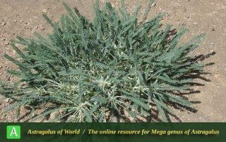 Astragalus dactylocarpus subsp. dactylocarpus 3 - Photo by Taherian
