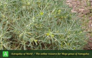 Astragalus dactylocarpus subsp. dactylocarpus 4 - Photo by Bidar