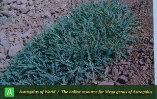 Astragalus dactylocarpus subsp. dactylocarpus 6 - Photo by Maassoumi