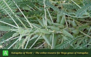 Astragalus dactylocarpus subsp. dactylocarpus - Khorassan