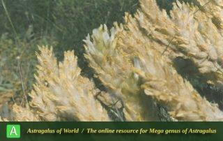Astragalus dianat-nejadii - Photo by F.Ghahremani nejad