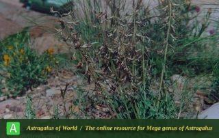 Astragalus divandarrehensis - Photo by Maassoumi